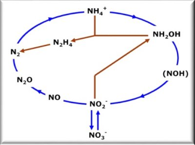 Red Arrows : Anammox shortcut in the Nitrogen Cycle