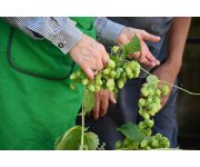 Hops Conference to Feature New Harvester, Prototype Trellis System