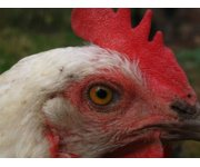 Bird flu found in a top Minnesota turkey producing county