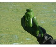 Toxic algae blooming in warm water from California to Alaska