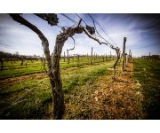 More California winemakers using less water to grow grapes