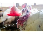 Most chicken, turkey farms affected by bird flu can restock