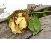 Scientists find new defence front against the Potato Blight