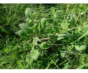Project aims to tame wild radish impact in cropping regions