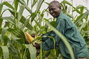 Researchers model ways to control deadly maize disease