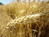 Winter Wheat Harvest Woes