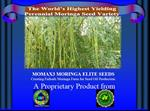 Moringa Perennial Seed for  seed oil plantation