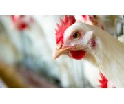 Biolargo Hatches plan to help poultry industry make clean farms, healthy chickens, safer food and more profit