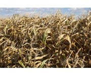 New Discovery Will Enhance Yield and Quality of Cereal and Bioenergy Crops