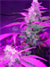 Cannabis Grown With LED Grow Lights