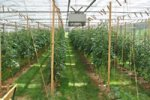 Wood Cogeneration for Greenhouses