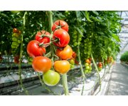 Yes, Landfill Gas Engines Will Produce More Poison Ivy but also More Tomatoes