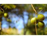 Stenospermocarpic fruit linked to unmarketable black walnuts