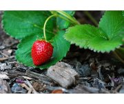 Producing strawberries in high-pH soil at high elevations