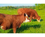 UF/IFAS Extension helps North Florida dairies move into grazing using a perennial grass