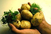 Tasmanian Potato Producers Hungry for New R&D