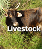 Investancia - Cattle Grazing