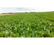 New foliar nutrient to improve sugar beet yields