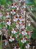 Calanthe Discolor (Discolor Hardy Calanthe Orchid)