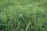 Model FS192A  - Forage Bermudagrass