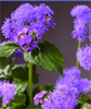 Model Blue Planet F1 - Ageratum Houstonianum
