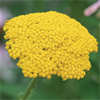 Classic Golden-Flowered Yarrow
