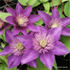 Clematis hybrid Multi Blue