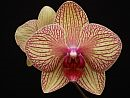 Phalaenopsis (The Moth Orchid)