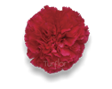 Carnations Hot Pink