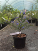 California Lilac or Redroot