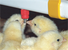 Broilers Nipple Drinking Technology
