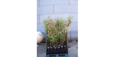 Rooted Cuttings, Seedlings and Containerized Plants