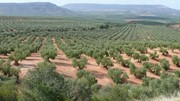 No-tillage management of olive groves can improve soil structure while maintaining yield