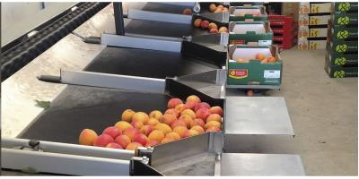 Aweta Midstar - Apricots Sizer Sorting System